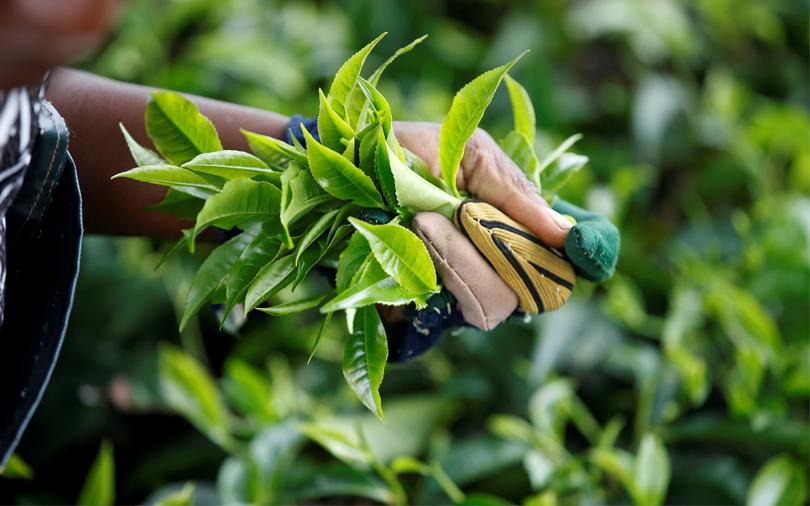 Mcleod Russel to fully exit Rwanda tea estate